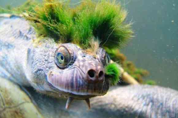 The Mary River Turtle
