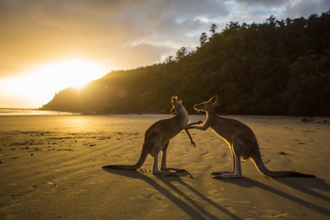 Watch two Kangaroos fight it all out in the Australia Outback
