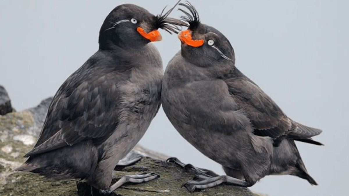 The crested auklet attracts mates by smelling like tangerines