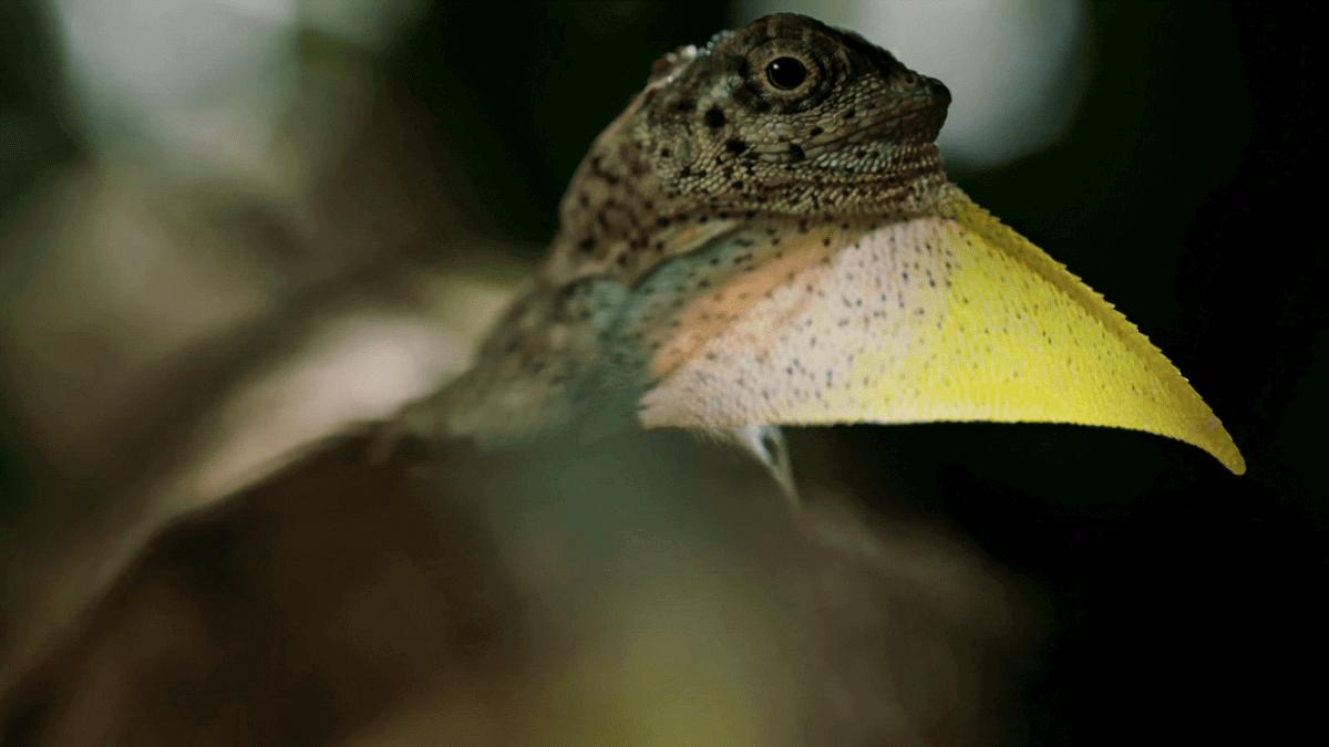 draco volans the flying dragon lizard