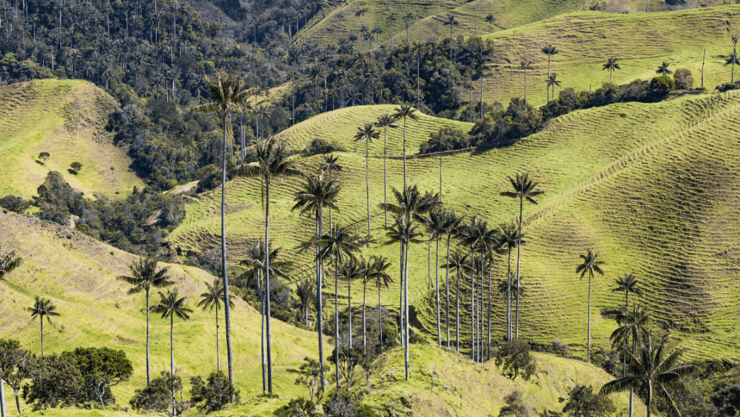 colombia is home to the tallest palm tree in the world the palma de cera