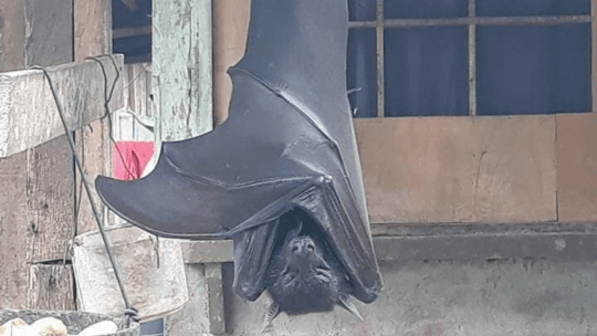 The giant crowned flying fox is a human size bat from the Philippines