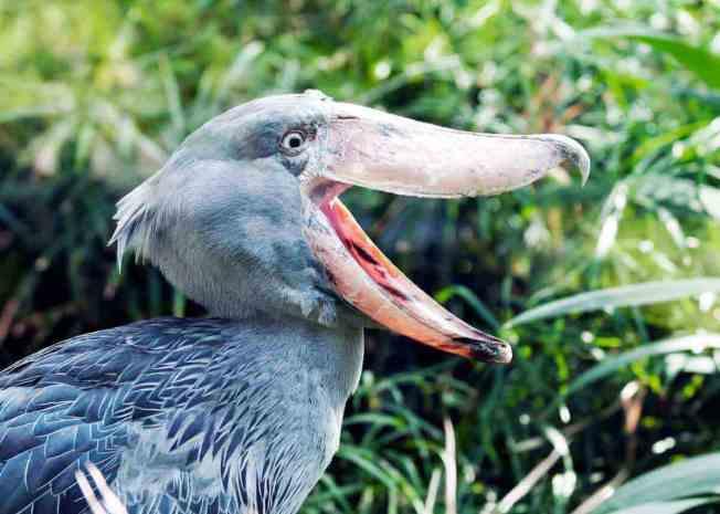 The strange but fabulous Shoebill Stork