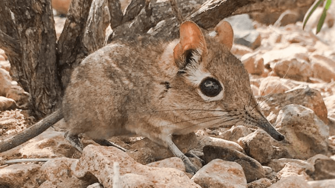 Lost and Found: The Somali Elephant Shrew is back!