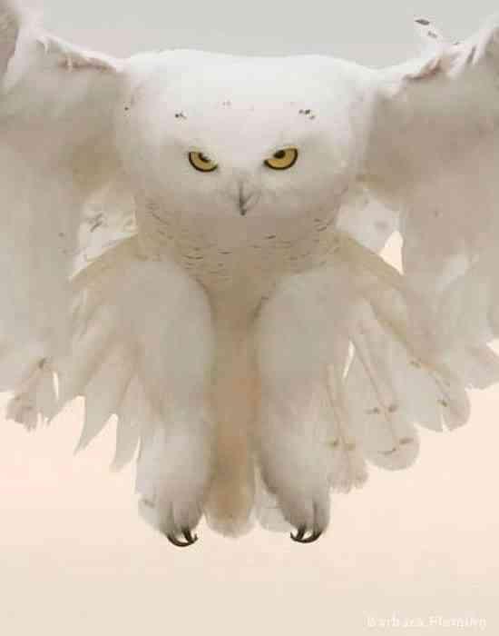 A rare look at a white owl swimming through a canyon