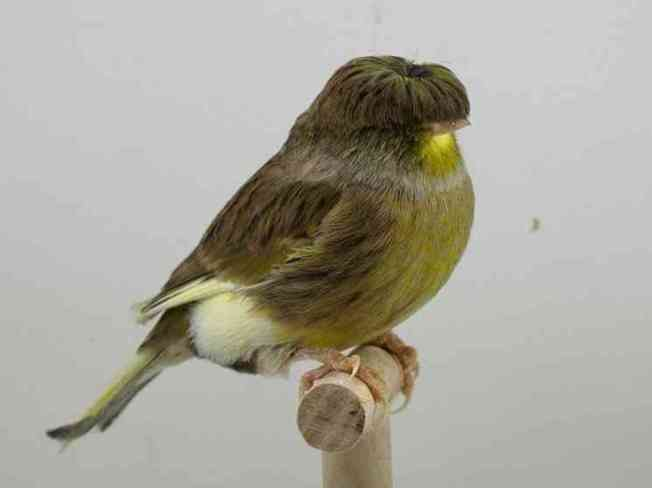 The Gloster Corona Canary