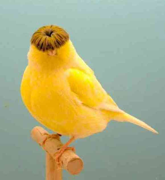 The fabulous bowl haircut of the Gloster Corona Canary