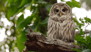 whose hoo the barred owls of central park