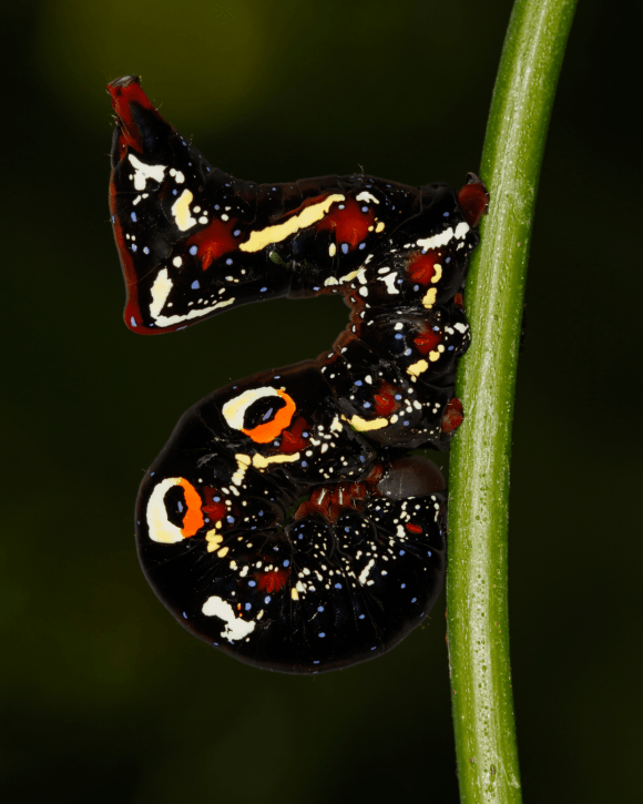 Cosmic caterpillar of the Pacific fruit piercing moth