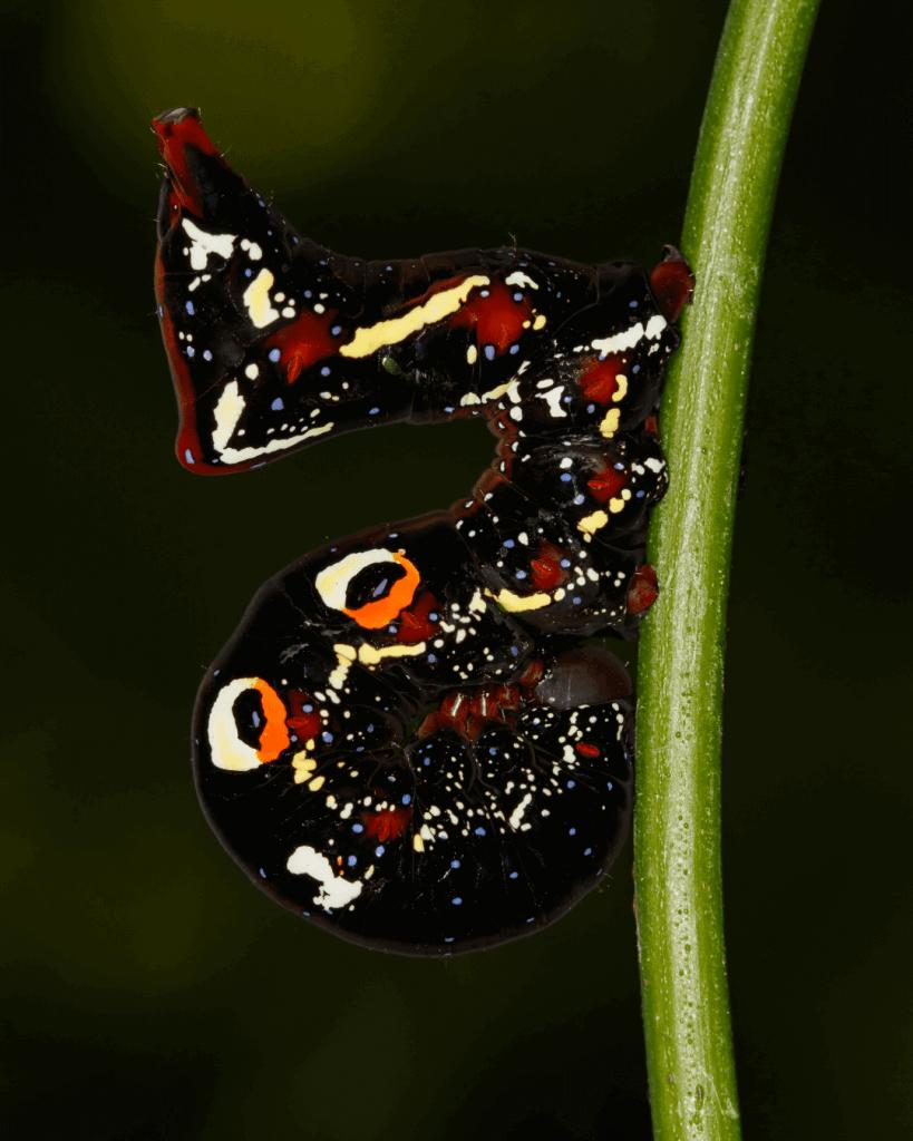 Cosmic caterpillar of the Pacific fruit piercing moth