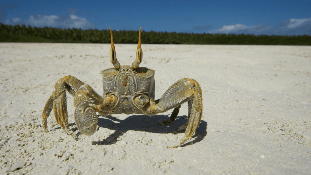 The stealthy ghost crab