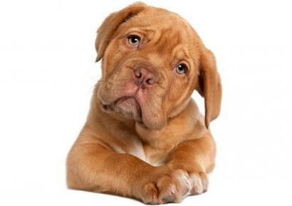 dog-dogue-de-bordeaux-puppy-410x290