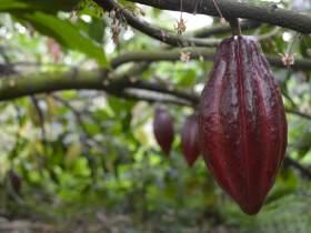 Cacao pod close up