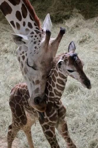 Baby Zebras Born