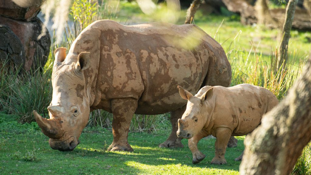 Disney World Newest Rhino Calf Ranger Joins The Kilimanjaro Safari!