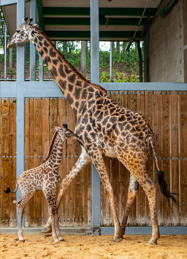 Disney's Animal Kingdom Welcomes New Baby Giraffe 2