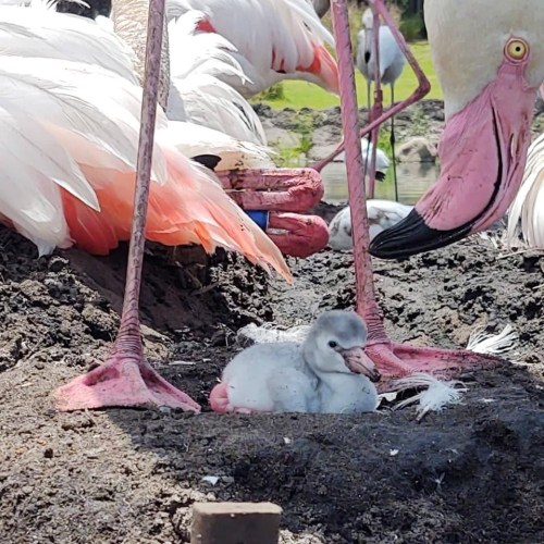 Flamingos Animal Kingdom