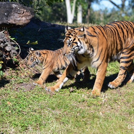 Disney Tiger Cubs