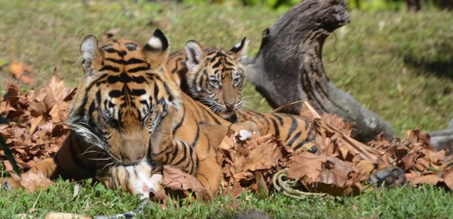 Disney Tiger Cubs