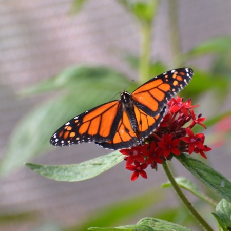 A look inside The Goodness Garden Butterfly House at the 2018 Epcot International Flower and Garden Festival
