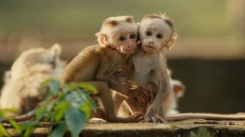 Disneynature Monkey Kingdom 4