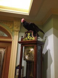 Famous Club 33 Vulture From Famed Trophy Room