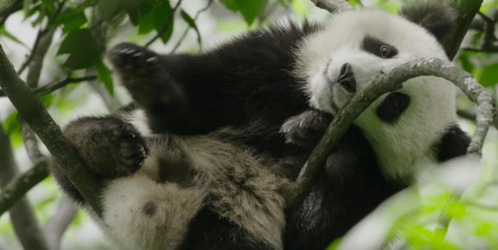 Disneynature Born In China Panda
