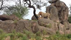 Leones en Kilimanjaro Safari