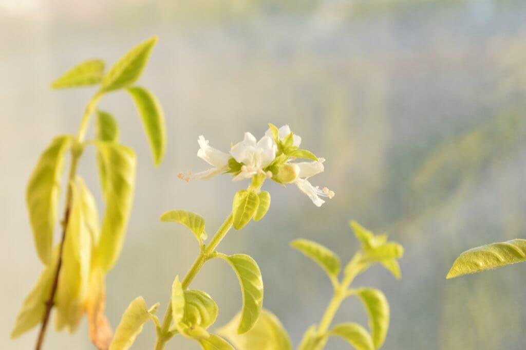 Vida de una planta de albahaca