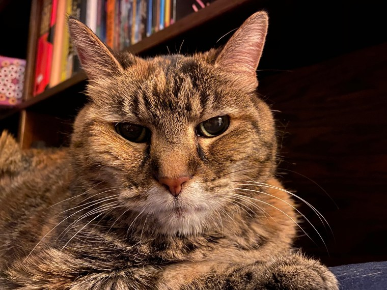 Laney, a torbie cat, glaring at the camera