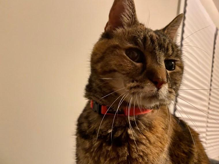 Laney, a torbie cat, looking pensive