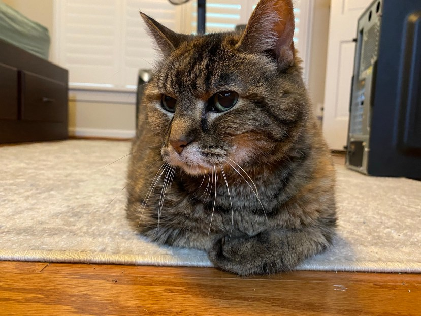 Laney, a torbie cat, loafing on the floor