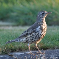 A Crush on a Thrush