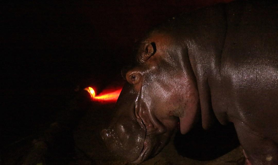 """La muerte del hipopótamo """"Gustavito"""" genera indignación en El Salvador y América Latina"""