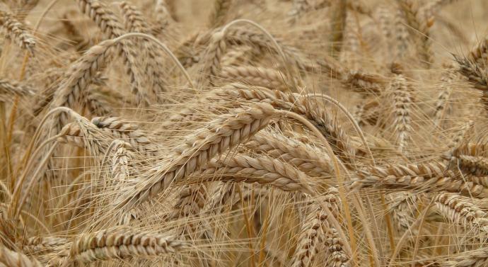 La sequía afecta a la cosecha de cereales