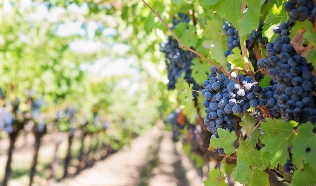 Ampliación del rendimiento del viñedo en la DO Valdepeñas