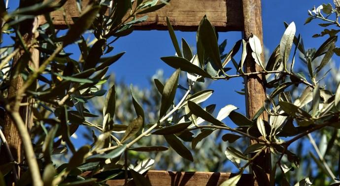 La próxima cosecha olivarera podría caer en un 40%