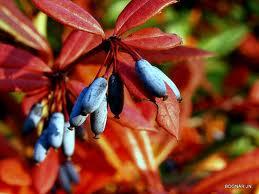 Berberis julianae – júlia borbolya