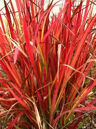 Imperata cylindrica 'Red Baron' – vörös alangfű