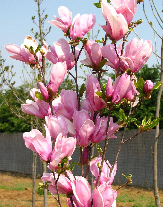 Magnolia 'G.H.Kern'