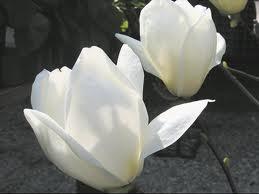 Magnolia Yulan