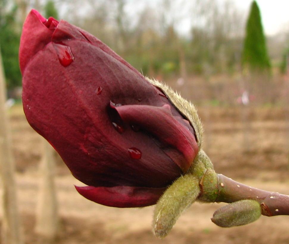 Magnolia x 'Black Tulip'