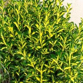 Euonymus japonica 'Aureovariegata' – aranytarka japán kecskerágó