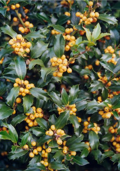 Ilex meservae 'Golden Girl' 0