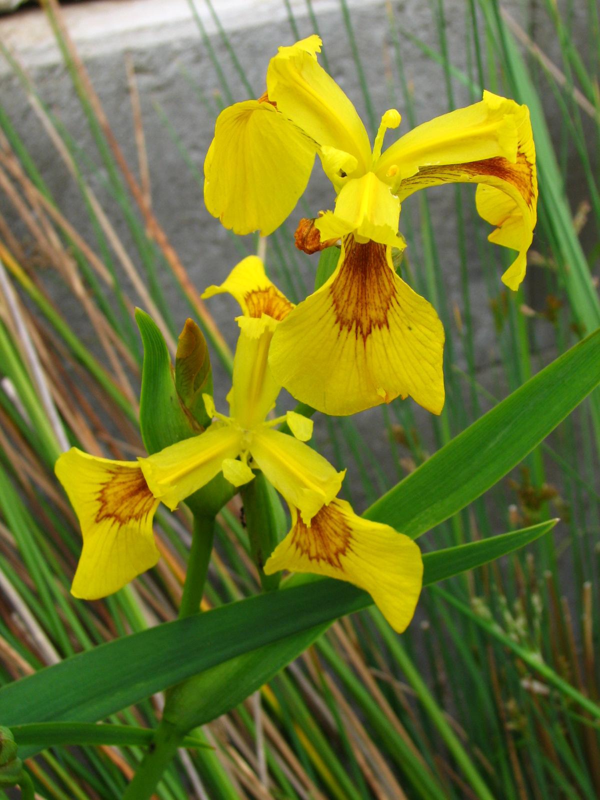 Iris pseuadacorus – mocsári nőszirom