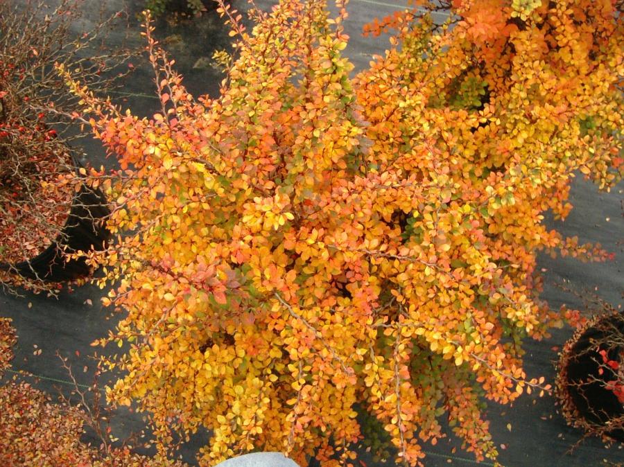 Berberis thumbergii 'Sunsation' –  Arany lombú japán borbolya