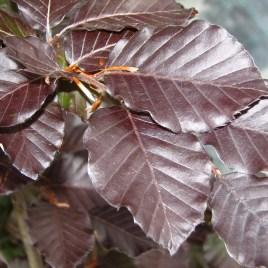 Fagus silvatica f. atropurpurea – vérbükk