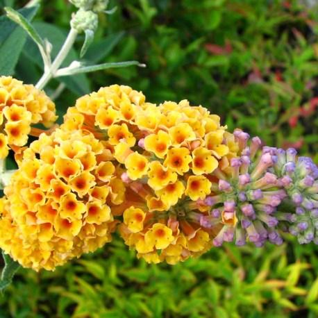 Buddleya x 'Sungold' virág