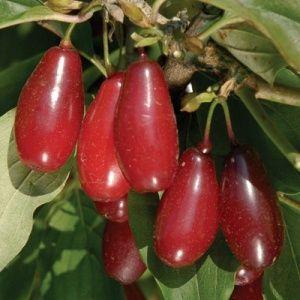 Cornus mas 'Red Star'  – nagy gyümölcsű som. Új fajta!