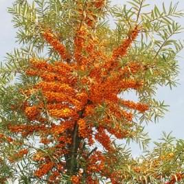 Hippophae rhamnoides 'Leikora' –  nő ivarű  homoktövis gyümölcsfajta